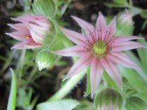 Blüten einer Steinpflanze von Anne Rösner-Langener