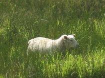 Irisches Schaf im Oktober von Anne Rösner-Langener