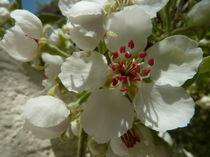 Birnenblüten -Pyrus communis von Beatrice Mock