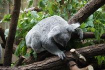 Koala von Ina Hartges