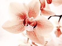 Orchidee  von Städtecollagen Lehmann