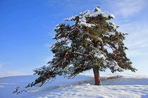 Bergkiefer im Winter by Wolfgang Dufner