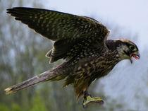 Falcon von Norbert Hergl
