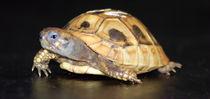 Schildkröte by emanuelvaanboek