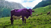 Milka Kuh by friedel