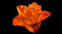 Rose dark by friedel