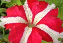 petunia von wohnzimmerkunst