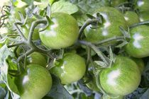 grüne tomaten II von wohnzimmerkunst