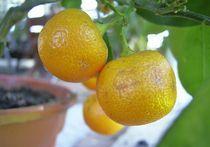 mandarine im topf von wohnzimmerkunst
