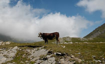 high mountain cattle by emanuele molinari
