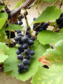 Wilder Wein von cicero