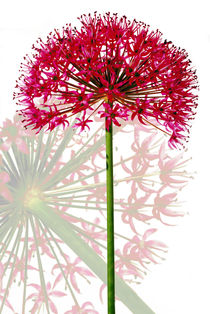 Kugelblume by 365tage
