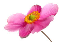 HERBST ANEMONE by 365tage