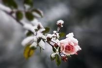 the rose by imaginarius