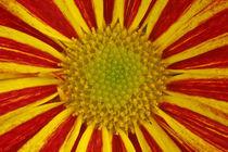 Chrysanthemum von Christine Amstutz