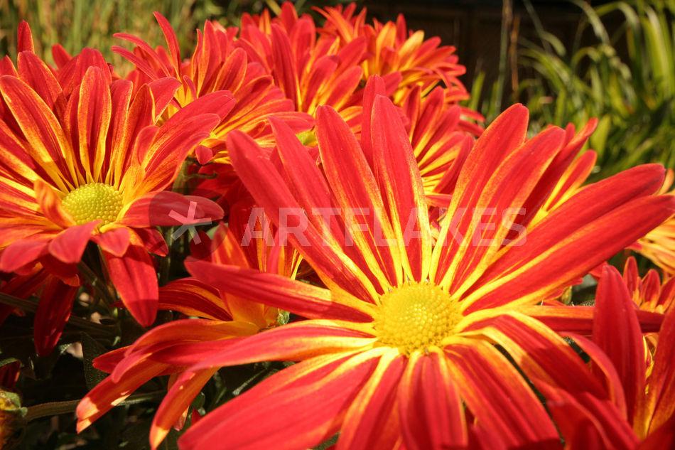 farbenfrohe herbstblumen fotografie als poster und. Black Bedroom Furniture Sets. Home Design Ideas