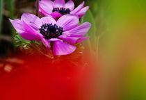 anemone von Rudolf Strasser