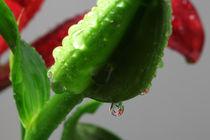 Lilien mit Wassertropfen 5 by Falko Follert