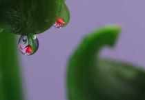 Lilien mit Wassertropfen 6 by Falko Follert