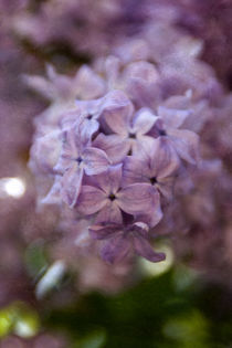 Syringa Vulgaris by Falko Follert