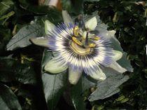 Passionsblüte by biene