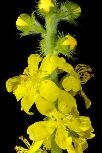 Gelbe Blüten-Gemeinheit - Gemeiner Odermennig by Gerald Albach