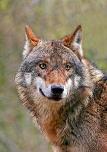 Wolf by lichtmalerin