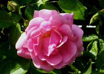 Rosa Rose von anoreng