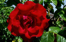Rote Rose von anoreng