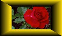 Rose von anoreng