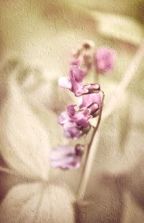 Frühlingsplatterbse von Mandy Tabatt