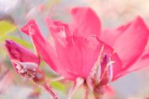 Rose von Mandy Tabatt