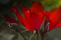 Geheimnisvolle Rosen von Mandy Tabatt