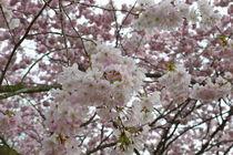 Japanischer Frühling by Victoria Garden