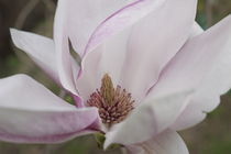Magnolia by Victoria Garden