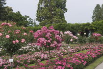 Rosengarten von Victoria Garden