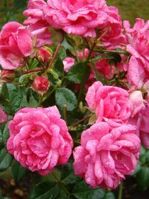 Rosen im Regen by Ka Wegner