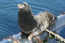 Der Nördlicher Seebär by oktopus4