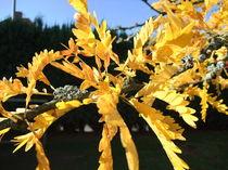 Lederhülsenbaum, Blätter im Herbst by Dan Krueger
