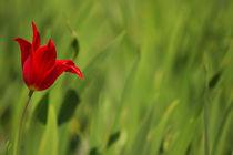 Lonley tulip von AD DESIGN Photo + PhotoArt