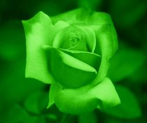 Green Rose by kattobello
