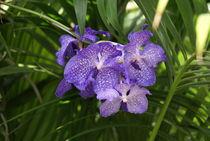 Lila Orchidee im Palmengarten by kattobello