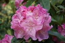 Rosa Rhododendron Blüte by kattobello