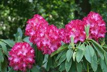Rosa Rhododendron Zweig by kattobello