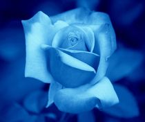 Blue Rose by kattobello
