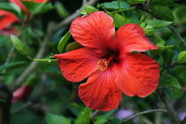 Roter Hibiskus by kattobello