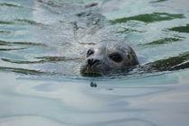 Nordseehund by kattobello