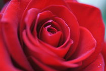 Rote Rose by inti