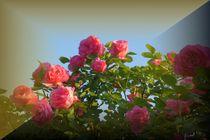 Rosen mal anders präsentiert by inti