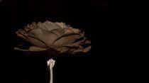 Rosa Sepia von inti